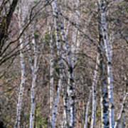 Birch Trees - Tannersville, NY Art Print