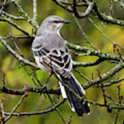 Mockingbird In Tree Art Print