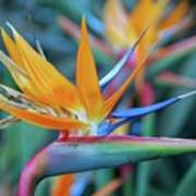 Bird Of Paradise Flowers Art Print