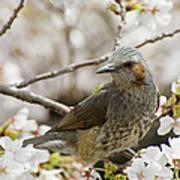 Bird Perched Among Cherry Blossoms Art Print