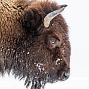 Bison In Winter Art Print