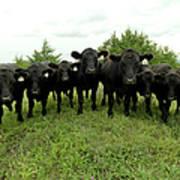 Black Angus Cows Art Print