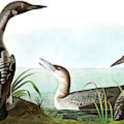 Black Throated Diver, Colymbus Arcticus By Audubon Art Print