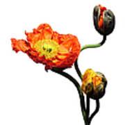 Blossoming Poppy Flowers On White Art Print