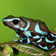 Blue And Black Dart Frog, Dendrobates Art Print
