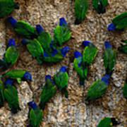 Blue-headed And Barrabands Parrots Art Print
