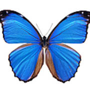 Blue Morpho Butterfly - Large Art Print