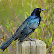 Boat Tailed Grackle Art Print