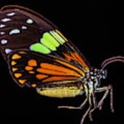 Boisduval's Tiger Moth Art Print