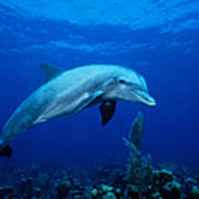 Bottlenose Dolphin,tursiops Art Print