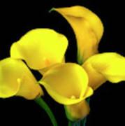 Bouquet Of Yellow Calla Lilies Art Print