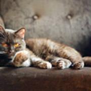 British Cat At Home Art Print