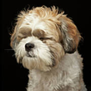 Brown And White Shih Tzu With Eyes Art Print