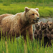 Brown Bear Sow And Cubs, In The Long Art Print