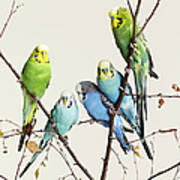 Budgies Grouped On A Branch Art Print