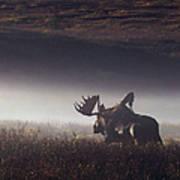 Bull Moose Alces Alces Walking Through Art Print