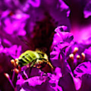 Bumble Bee On A Rhodedendron  Art Print