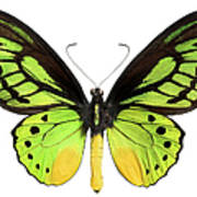 Butterfly Lepidoptera With Green, Black Art Print