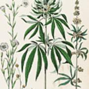 Cannabis Plant Illustration 1853 Art Print