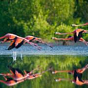 Caribbean Flamingos Flying Over Water Art Print