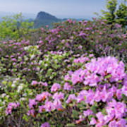 Catawba Rhododendron Table Rock  Art Print