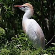 Cattle Egret With Breeding Feathers Art Print