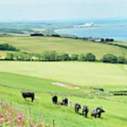 cattle in field and east coast Berwickshire Art Print