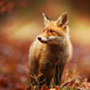 Cautious Fox Stopped At The Edge Of The Art Print