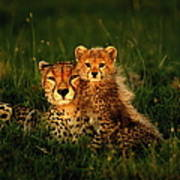 Cheetah Acinonyx Jubatus With Cubs In Art Print