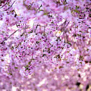 Cherry Blossom Flowers Art Print