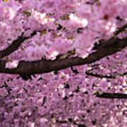 Cherry Blossom Tree Panorama Art Print
