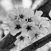 Cherry Blossoms 2019 E Art Print