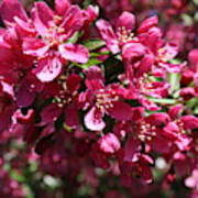 Cherry Blossoms 2019 IIi Art Print