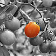 Cherry Tomatoes Partial Color Art Print