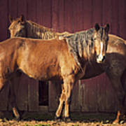 Chestnut Horses Art Print