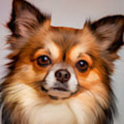 Chihuahua Dog Portrait Art Print