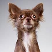 Chihuahua Looking Up Art Print