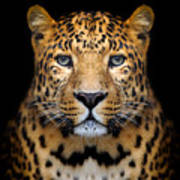 Close-up Leopard Portrait On Dark Art Print