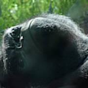 Close-up Of Frowning Adult Mountain Gorilla Art Print