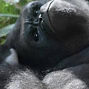 Close-up Shot Of Silverback Gorilla Making An Angry Face Art Print