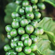 Coffee Berries Art Print