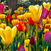 Colorful Tulips In The Park. Spring Art Print
