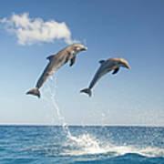 Common Bottlenose Dolphins Tursiops Art Print