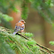 Common Chaffinch Fringilla Coelebs Art Print