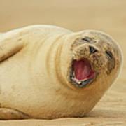 Common Seal Art Print