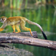 Common Squirrel Monkey Walking On A Tree Branch Above Water Photograph By Miroslav Liska