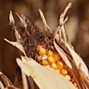 Corn In Dry Husk Art Print