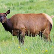 Cow Elk Grazing Art Print