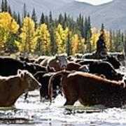 Cowboy Herding Cattle Across River Art Print