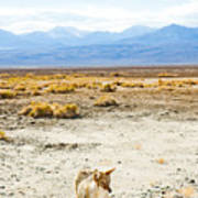 Coyote, Death Valley National Park Art Print